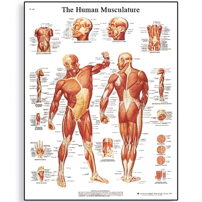 3B Human Muscle Chart – Banner Therapy